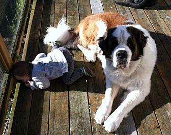 St. Bernard Dog for adoption in Seattle, Washington - Denali (and Stella)