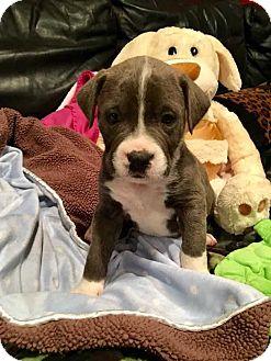 Boxer/Pit Bull Terrier Mix Dog for adoption in Thompson, Pennsylvania - Beau