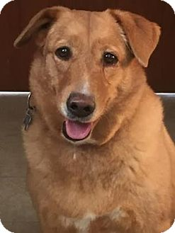 Australian Shepherd/Retriever (Unknown Type) Mix Dog for adoption in Loxahatchee, Florida - Scotch