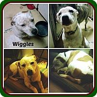 Adopt A Pet :: WIGGLES - Malvern, AR