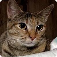 American Bobtail Cat for adoption in Dallas, Texas - Autumn