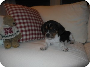 Beagle Puppy for adoption in Marlton, New Jersey - Baby Jessie