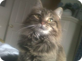 Domestic Longhair Cat for adoption in Fairborn, Ohio - Rina