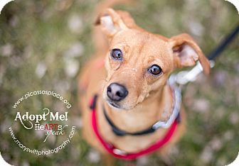 Miniature Pinscher Mix Dog for adoption in Myersville, Maryland - Sugar