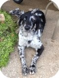 Australian Shepherd Dog for adoption in Russellville, Kentucky - Lacie