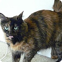 Calico Cat for adoption in Monrovia, California - Cinammon