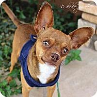 Adopt A Pet :: Pancake - Gilbert, AZ