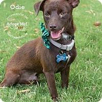 Adopt A Pet :: Odie - Gilbert, AZ