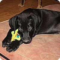 Adopt A Pet :: Samson - PENDING, in ME - kennebunkport, ME