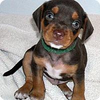 Adopt A Pet :: Van Gogh - Novi, MI