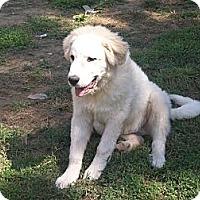 Adopt A Pet :: Lucas - Albany, NY