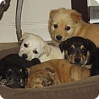 Adopt A Pet :: Christmas puppies! - Phoenix, AZ