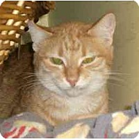 Adopt A Pet :: Bobby-Cat - Lombard, IL