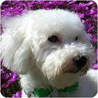 Adopt A Pet :: Indy the Adventurer - La Costa, CA