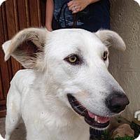 Adopt A Pet :: Snow - Vacaville, CA