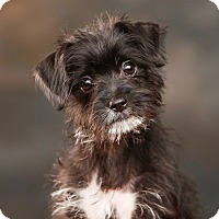 Adopt A Pet :: *Joy - PENDING - Westport, CT
