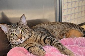 Domestic Shorthair Cat for adoption in Houston, Texas - Kelso