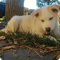 Siberian Husky Mix Puppy for adoption in Provo, Utah - Niclous- SeeRemarks