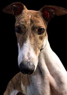 Greyhound Dog for adoption in Swanzey, New Hampshire - Bama