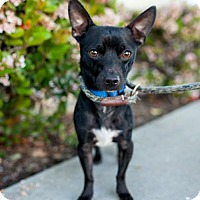Chihuahua/Patterdale Terrier (Fell Terrier) Mix Dog for adoption in San Diego, California - Newhart
