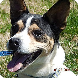 Rat Terrier/Terrier (Unknown Type, Medium) Mix Dog for adoption in SUSSEX, New Jersey - JoJo(24 lb)Perfect Family Pet!