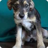 Adopt A Pet :: Tonya - Waldorf, MD