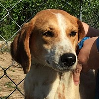 Hound (Unknown Type) Dog for adoption in West Columbia, South Carolina - Firefly