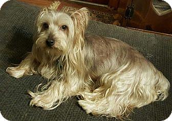 Silky Terrier Dog for adoption in Memphis, Tennessee - GiGo (Gee Joe)