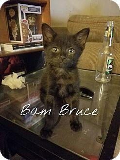 Domestic Shorthair Kitten for adoption in Chicago, Illinois - Bam Bruce