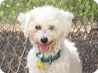 Bichon Frise Dog for adoption in Mukwonago, Wisconsin - Roxanne