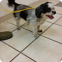 Shih Tzu Mix Dog for adoption in Chippewa Falls, Wisconsin - Amber