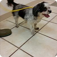 Adopt A Pet :: Amber - Chippewa Falls, WI