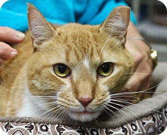 Domestic Shorthair Cat for adoption in Basehor, Kansas - Copper