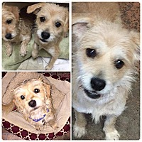 Adopt A Pet :: Ginger - Tijeras, NM