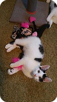 Domestic Shorthair Kitten for adoption in Butner, North Carolina - Toto