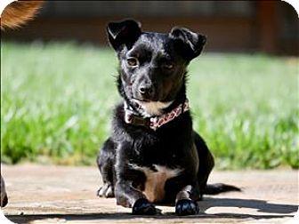 Chihuahua Mix Dog for adoption in Napa, California - Olive