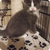 Domestic Shorthair Kitten for adoption in Bolingbrook, Illinois - WRIGLEY