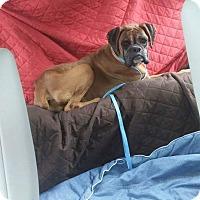 Boxer Dog for adoption in Austin, Texas - Kirbie