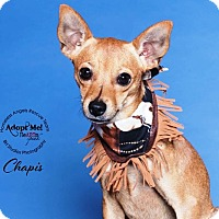 Adopt A Pet :: Chapis - Houston, TX