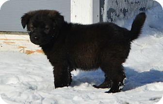 German Shepherd Dog/Australian Shepherd Mix Puppy for adoption in Brandon, South Dakota - Bunny