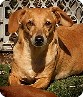 Dachshund Mix Dog for adoption in Henderson, Nevada - Elena