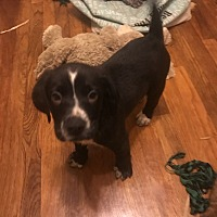 Adopt A Pet :: Bellamy - Jackson, MS