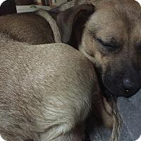 Adopt A Pet :: Sweetie - Manhattan, KS