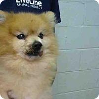 Adopt A Pet :: SAVION - Atlanta, GA