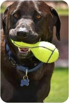 Labrador Retriever/Rottweiler Mix Dog for adoption in Phoenix, Arizona - Hershey