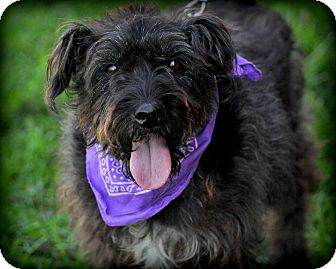 Schnauzer (Miniature)/Terrier (Unknown Type, Medium) Mix Dog for adoption in Sparta, New Jersey - Marco