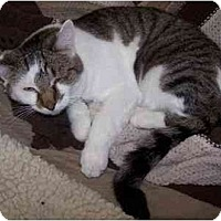 Domestic Shorthair Cat for adoption in Sheboygan, Wisconsin - Fred