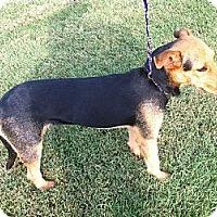 Adopt A Pet :: Ariel - Nashville, TN
