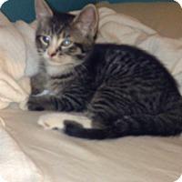 Adopt A Pet :: Bandit - Piscataway, NJ