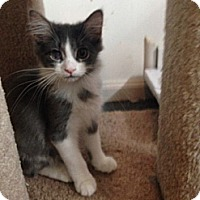 Adopt A Pet :: Furby - Sterling Hgts, MI